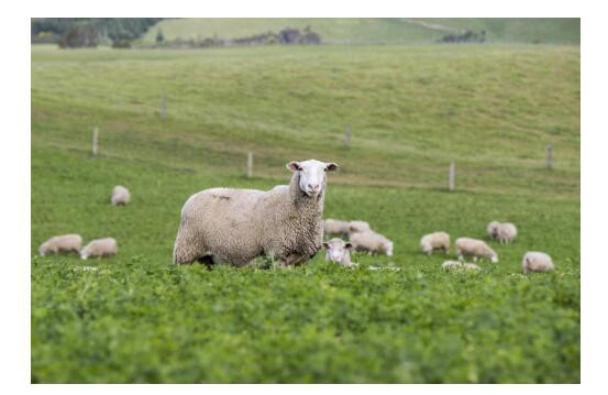 可瑞康 - Karicare绵羊奶粉新西兰国宝级奶源  五大元气菁萃帮助宝宝构建健康的肠道