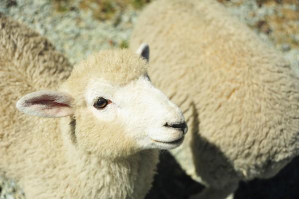 街头现挤的羊奶能喝吗?  西安已有幼儿中招  家长千万不要在犯糊涂
